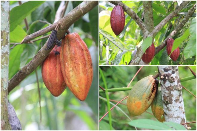 CocoaTrees